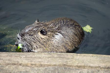 Beaver in the water Фото со стока