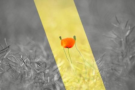 single poppy in a field photo
