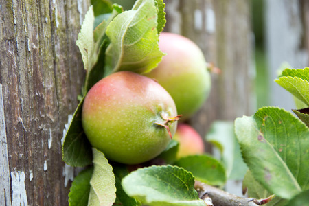 Apples on a branch photo