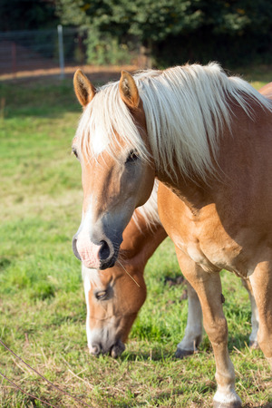 warm blooded: two horses in a paddock