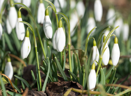 heralds: beautiful snowdrops on a meadow