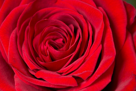 love proof: Close up of a red rose
