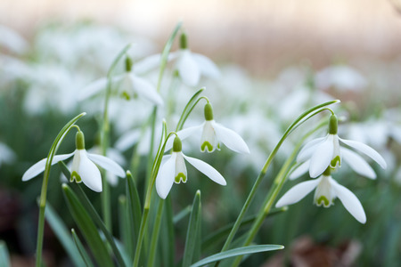 heralds: Snowdrops on a meadow