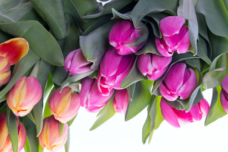 heralds: beautiful tulips on a white background