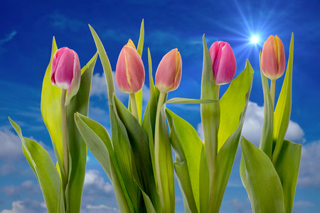 heralds: Tulips against a blue sky with sun