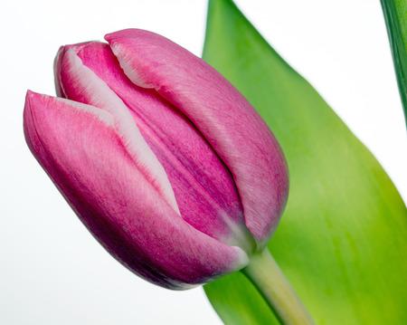 heralds: beautiful tulip on a white background Stock Photo