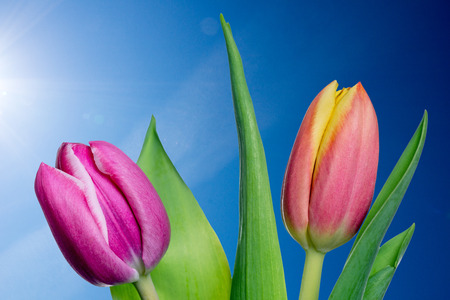 flowerpower: beautiful tulips in front of a blue sky Stock Photo