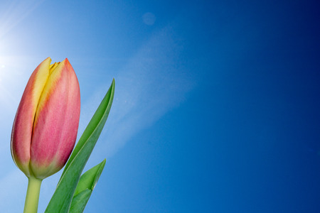 flowerpower: beautiful tulip in front of a blue sky Stock Photo