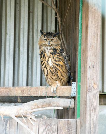 enclosure: large owl in an enclosure