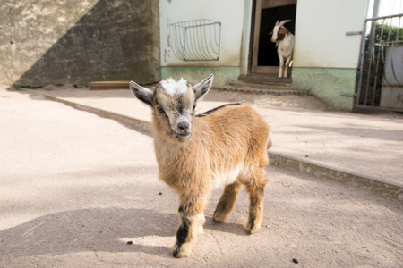 enclosure: little goats child in an enclosure Stock Photo