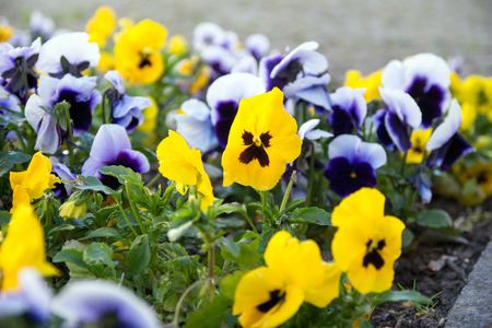 Pansies in a flowerbed photo