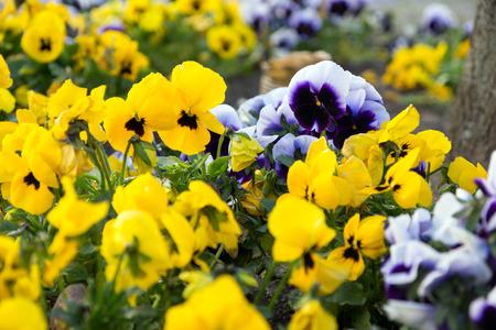 massif de fleurs: Pens�es dans un parterre de fleurs Banque d'images