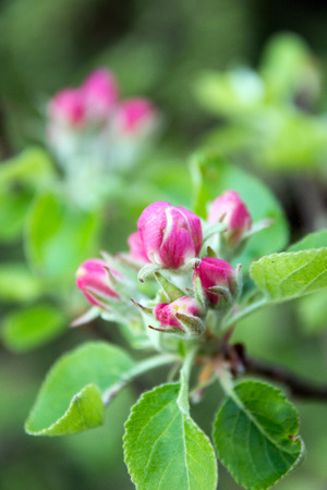 blossom time: Apple tree blossom at spring time