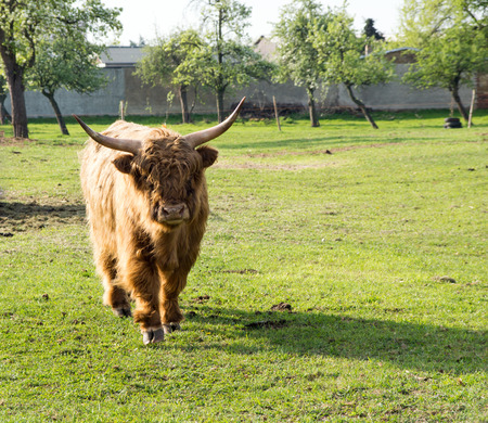 highland: Highland cow in a pasture