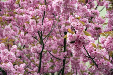 almond bud: Almond tree at spring time