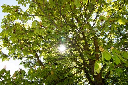 chestnut tree: Chestnut tree with sun and sunrays