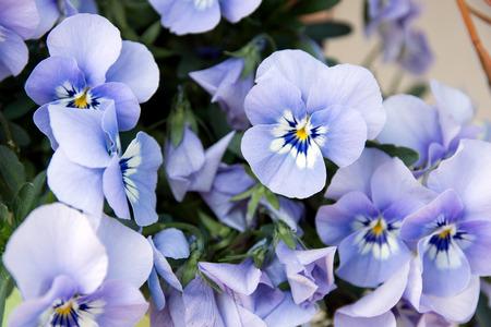 violets: beautiful Horn violets