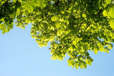 chestnut tree: Chestnut tree and blue sky