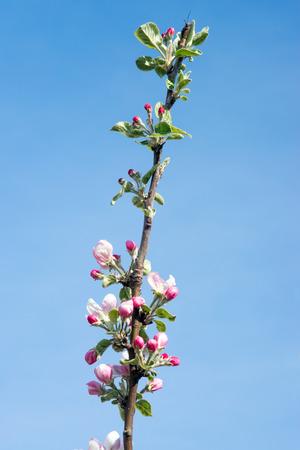 albero di mele: Fiore di melo a primavera Archivio Fotografico