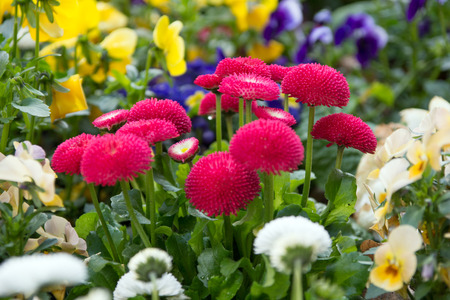 flower bed: beautiful Daisies in a flower bed