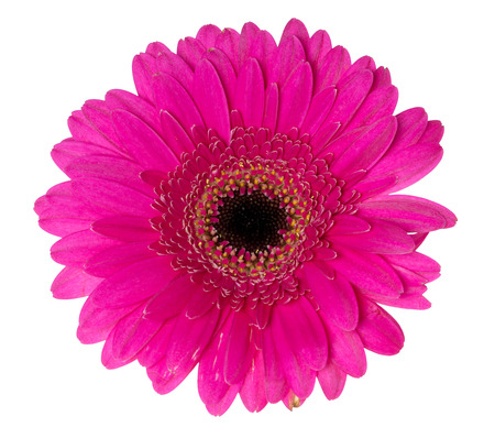 exempted: beautiful gerbera isolated over a white background