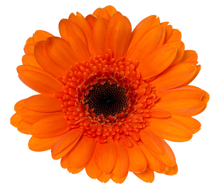 exempted: Beautiful gerbera isolated over a white background Stock Photo