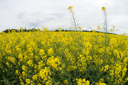biodiesel plant: Rape field with many yellow flowering plant