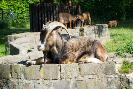 billy goat: Billy goat with big horns