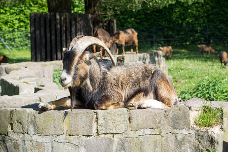 billy: Billy goat with big horns