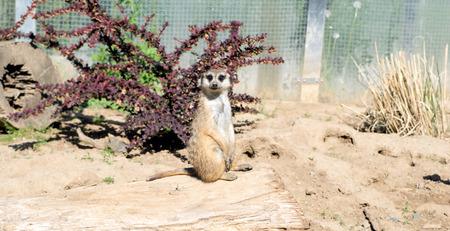 Meerkat in an enclosure