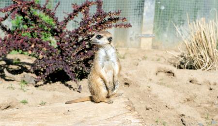 enclosure: Meerkat in an enclosure