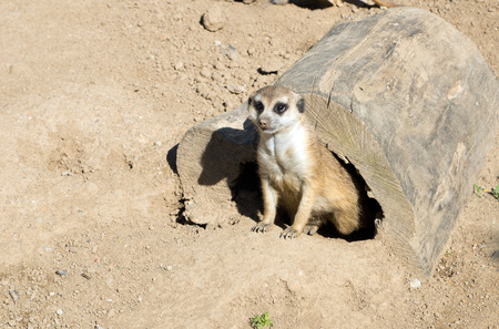 Meerkat in an enclosure 版權商用圖片 - 40969044