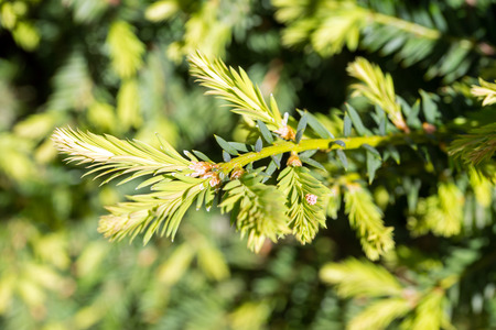 conifer: green branch of a conifer