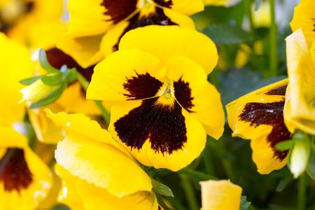 massif de fleurs: Pens�es jaunes dans un parterre de fleurs