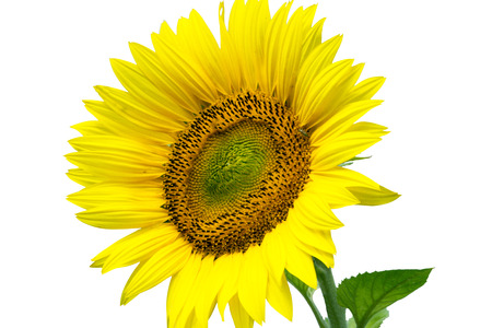 a sunflower: Sunflower over a white background