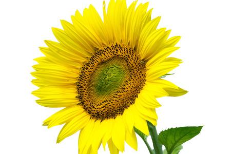 sunflower oil: Sunflower over a white background