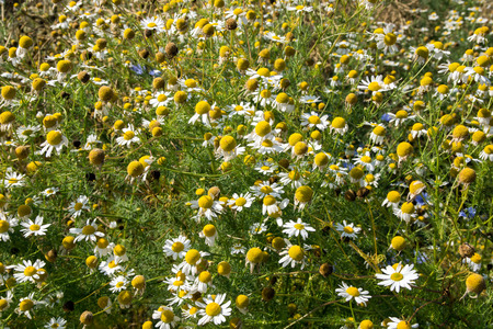 nature cure: Chamomile flowers by the wayside Stock Photo