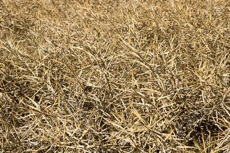 faded: faded rapeseed field
