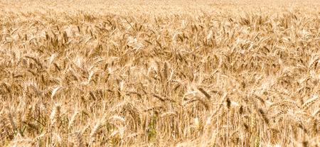 cebada: Campo de la cebada con muchas espigas de cebada