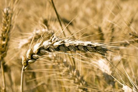 barley: Campo de la cebada con muchas espigas de cebada