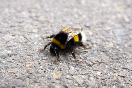 living beings: Closeup of a bumblebee