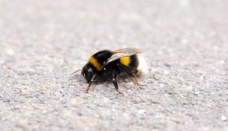 los seres vivos: Primer plano de un abejorro