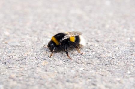 seres vivos: Primer plano de un abejorro