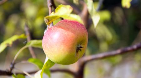 calorie rich food: an apple on an apple tree