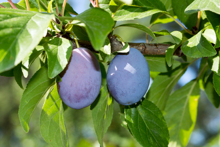 plum tree: Plum on a plum tree Stock Photo