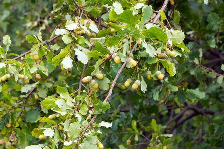 acorns: Oak with with acorns Stock Photo