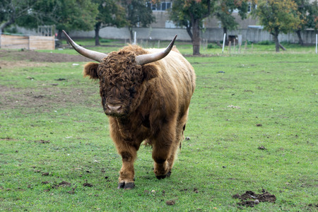 animal breeding: Highland cow in a pasture