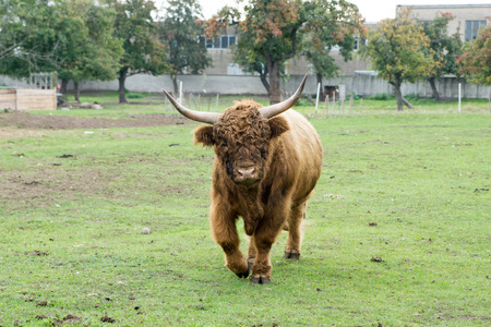 husbandry: Highland cow in a pasture