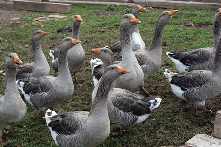 animal husbandry: many geese on a farm Stock Photo