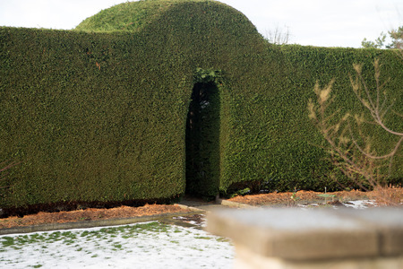 accurately: accurately cut green hedge